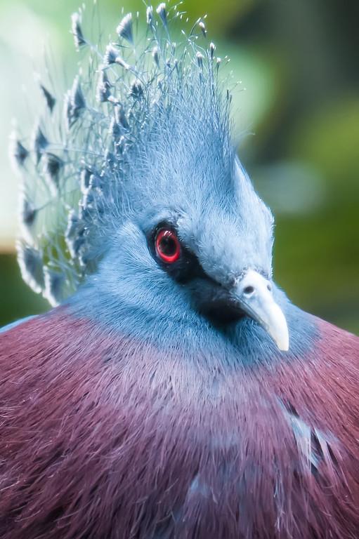 Exotic Bird (Goura Victoria)