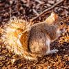 squirrel eating crunchy pinecorn on ground