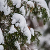 snow covered evergreen plants