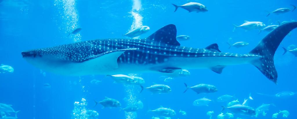 whale shark underwater in aquarium
