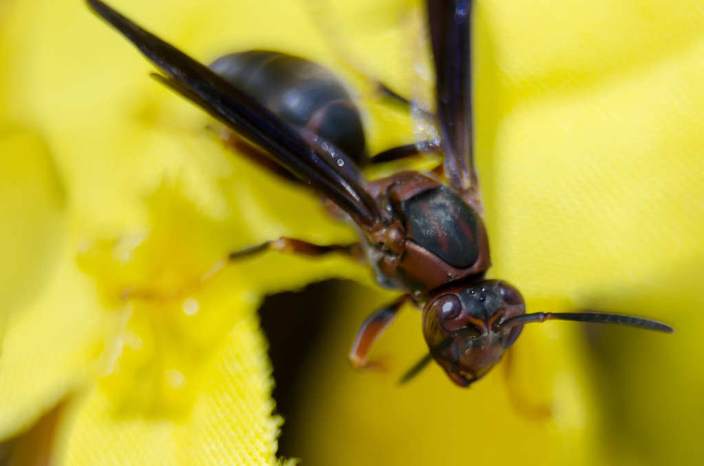 wasp of the garden on a yellow wild flower, macro,