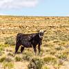 wild cow on canyonlands farm pasture in utah and arizona