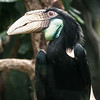 hornbill bird portrait closeup