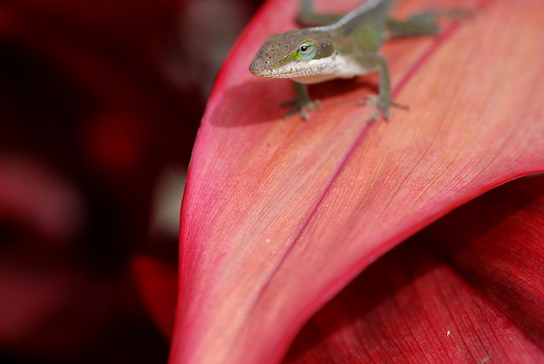 Gecko on Red Ti Leaf