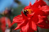 Red Flower and Bee