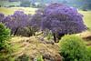 Jacaranda Heaven