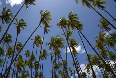 Coconut Grove on Molokai