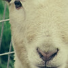 ABstract # Face of lamb