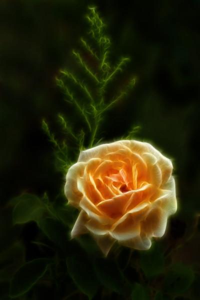 Flower from Mughal Gardens, Kashmir.