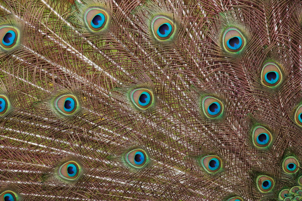 Peacock's feathers at San Francisco Zoo
