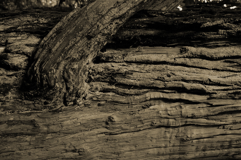 Abstractish image of a tree trunk in Botanical Gardens, Ooty, Tamil Nadu, India.
