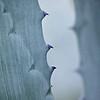 Agave Closeup #1, SoCo - Austin, Texas