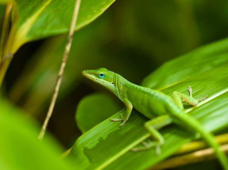 Gecko Macro #2, Zilker Botanical Gardens - Austin, Texas