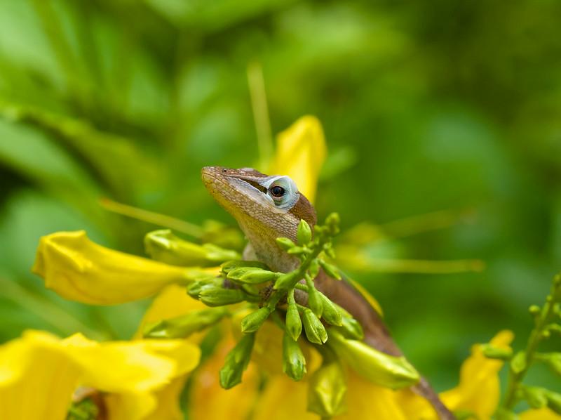 Gecko Macro #1, Zilker Botanical Gardens - Austin, Texas