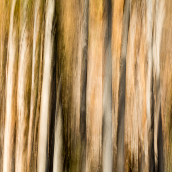 Study In Abstract No. 275, Yellowstone NP