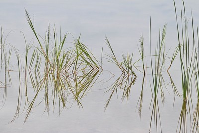 Reed Water Reflection I