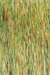 Broadleaf Cattails (Typha latifolia)