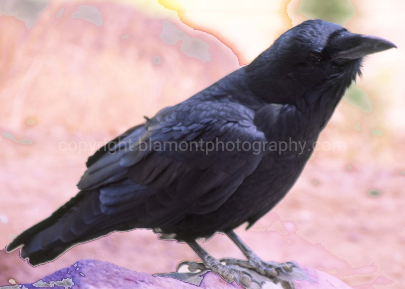 Craven Raven #1... Shot in Yellowstone...An Ode to Poe. I heard a rappin...