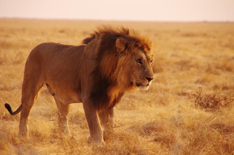 Black maned Lion, Etosha National Park, Namibia