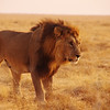 Black maned Lion, Etosha National Park, Namibia