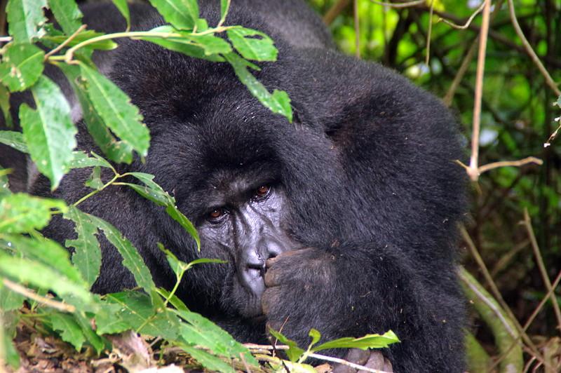 Gorilla in Bwindi Nationalpark, Uganda