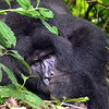 Gorilla in Bwindi Nationalpark, Uganda