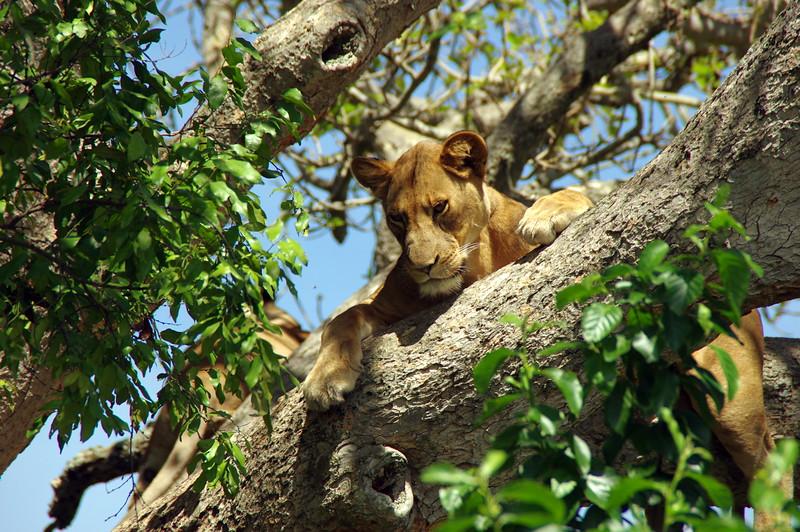 Tree climbing lion in Queen Elizabeth Nationalpark, Uganda