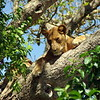 Tree climbing lion in Queen Elizabeth Nationalpark, Uganda