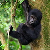 A Gorilla Baby in Bwindi National Park, Uganda