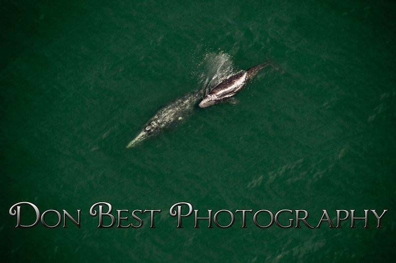 Gray Whales3491
