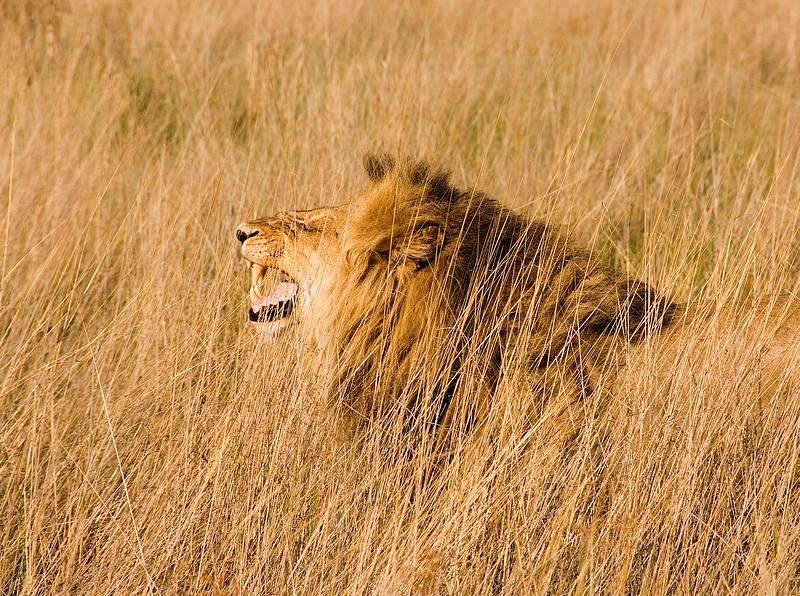Male lion, Okavongo Delta, Botswana