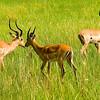 Impala near Shinde Lodge, Okavongo Delta, Botswana
