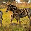 Burchell's zebra, near Shinde Lodge, Okavongo Delta, Botswana
