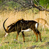 Sable and impala, near Shinde Lodge, Okavongo Delta, Botswana