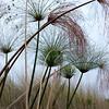 Papyrus reeds, Okavongo Delta, Botswana