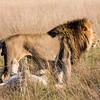 Lions, Okavongo Delta, Botswana
