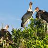 Marabou storks, Okavongo Delta, Botswana