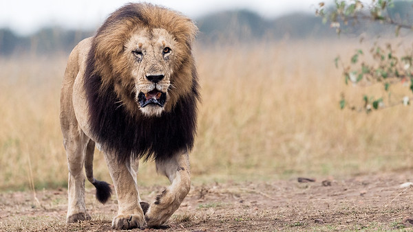 Lion's Territorial Dispute
