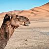 Camel, Sahara Desert
