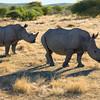 White rhino, near Ongava Lodge, northern Namibia