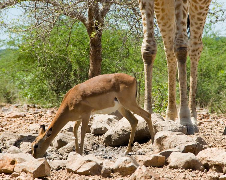 Springbok and giraffe legs, Ongava Lodge, northern Namibia