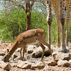 Springbok and giraffe legs, Ongava Lodge, northern Namibia