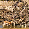 Zebra, wildebeest and springbok (in foreground), at Okaukeujo water hole, Etosha National Park, Namibia