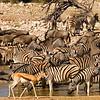 Zebra, wildebeest and springbok (in foreground), at Okaukeujo water hole, Etosha National Park, Namibia