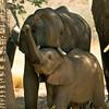 Desert elephants, Damaraland, Namibia