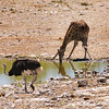 Giraffe and ostrich, Okaukeujo water hole, Etosha National Park, Namibia
