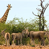 Eland and giraffe, Ongava Lodge, northern Namibia