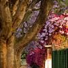 Johannesburg, South Africa, jacaranda and bouganvilla trees