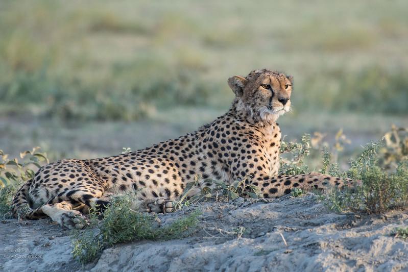 Mamma Cheetah