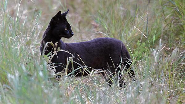 Black Melanistic Serval